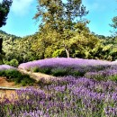 Lavender {Carmel Valley Ranch}